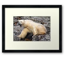 Polar bear in a Spitzberg fjord Framed Print