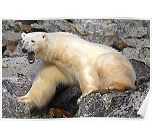 Polar bear in a Spitzberg fjord Poster