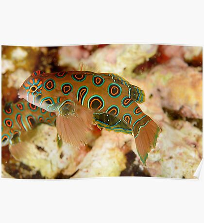 Picturesque Dragonet - Synchiropus picturatus Poster