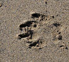Dog pawprint in sand on beach, Salcombe, Devon, United Kingdom by silverportpics
