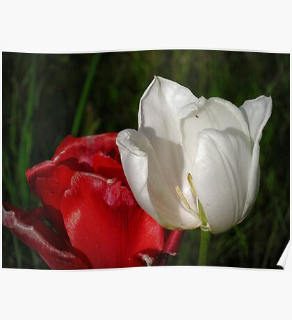 tulips red and white Poster