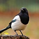 European Magpie by M.S. Photography & Art