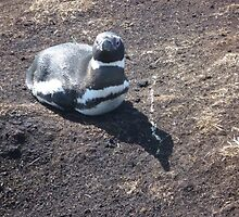 A Magellanic Peguin by Katie Vickery