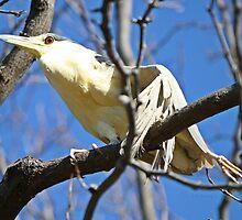 Please help this black crown night heron by Heather King