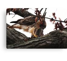 Redtail Hawk's Successful Hunt Canvas Print