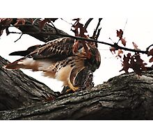 Redtail Hawk's Successful Hunt Photographic Print