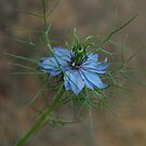 Love-In-A-Mist  by retroboho
