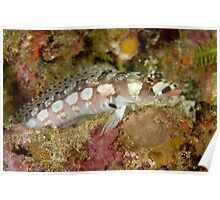 Reticulated Sandperch - Parapercis tetracantha Poster