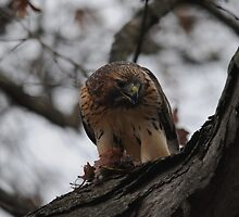 Redtail Hawk Feeding and on Alert by Thomas Mckibben