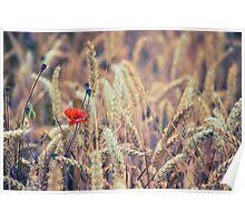 Wild Poppy in the Wheat Field Poster