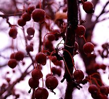 Winter Berries by Josrick