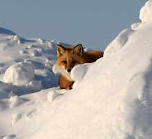Red Fox by Caren della Cioppa