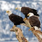 3 Bald Eagles by Caren della Cioppa