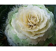 Winter cabbage Photographic Print