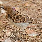Bower Bird with Colour by Hedoff
