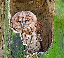 Tawny Owl by Chris Thaxter