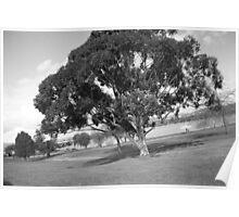 Broad Tree b&w Poster