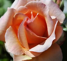 Apricot  Rose by jainiemac
