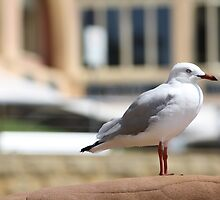 Seagull at Terrigal Beach by TJSphoto