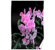 Pink Cyclamen Poster