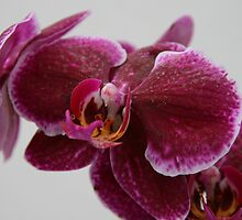 Purple Orchid by Michelle Thomson