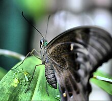 Butterfly at Santosa  (1)..normal. by Larry Lingard/Davis