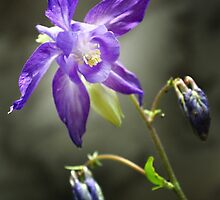 Columbine May 2014 by cclaude