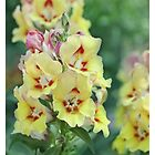 Antirrhinum Flowers by Alyson Fennell