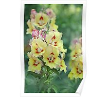 Antirrhinum Flowers Poster