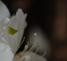 Green leaf shaped bug on white azalea. by retroboho