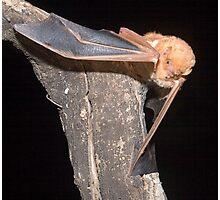 Red bat portrait Photographic Print