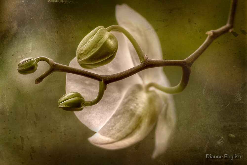 Ornate Phalaenopsis by Dianne English
