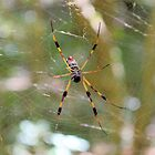 Golden Silk Orb Weaver 2 by Dawne Dunton
