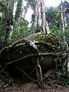 The Strangler, Lamington National Park, Qld, Australia by Margaret  Hyde