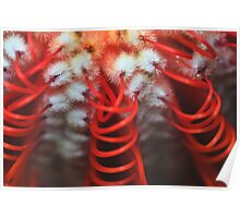 Banksia coccinea Poster