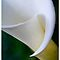 The Calla Lily Calendar by Celeste Mookherjee