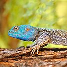 Agama by jeff97