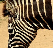 Stripey Profile by Sally Haldane