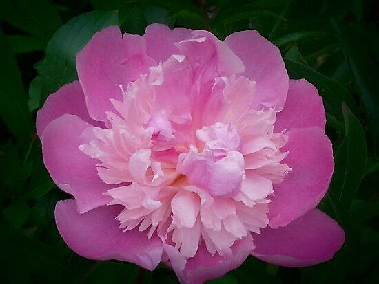 One Pink Peony by kahoutek24