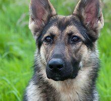 German Shepherd Puppy by Elaine Hillson