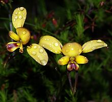 Diuris orientis (Wallflower orchid) by Russell Mawson