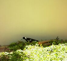 Magpie Three - 16 11 12 by Robert Phillips