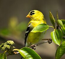 Yellow Goldfinch by Christina Rollo