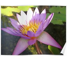Water lilly flower Poster