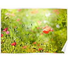 Cheerful poppy in summer green  Poster