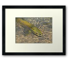 Marble Trout Framed Print