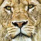 Lioness Portrait by Mark Hughes