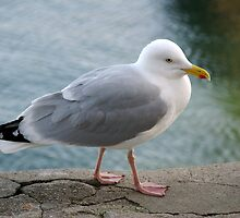 Seagull on harbourside wall, Salcombe, Devon, UK by silverportpics