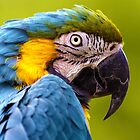 Blue and Yellow Macaw (Ara ararauna) by Andrew Harker