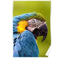 Blue and Yellow Macaw (Ara ararauna) Poster